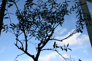 ettbraliv-olivtrad